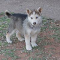 German Shepherd Puppies for sale in Oklahoma City, OK, USA. price: NA