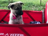 German Shepherd Puppies for sale in Austin, TX, USA. price: NA