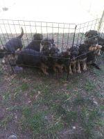 German Shepherd Puppies for sale in 205504 E Perkins Rd, Kennewick, WA 99337, USA. price: NA