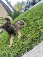 German Shepherd Puppies for sale in Tampa, FL 33614, USA. price: NA