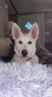 German Shepherd Puppies for sale in Lumberton, TX 77657, USA. price: NA