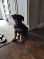 German Shepherd Puppies for sale in West Palm Beach, FL, USA. price: NA