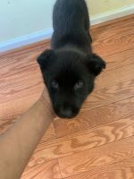 German Shepherd Puppies for sale in Baltimore, MD 21244, USA. price: NA