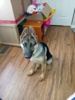 German Shepherd Puppies for sale in Orting, WA 98360, USA. price: NA