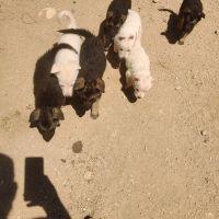 German Shepherd Puppies for sale in TWENTYNIN PLM, CA 92277, USA. price: NA
