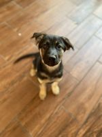 German Shepherd Puppies for sale in Chula Vista, CA, USA. price: NA