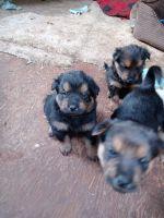 German Shepherd Puppies for sale in BETHEL, WA 98387, USA. price: NA