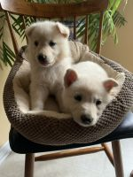 German Shepherd Puppies for sale in Asheboro, NC, USA. price: NA