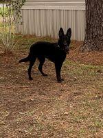 German Shepherd Puppies for sale in Gonzales, LA 70737, USA. price: NA