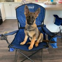 German Shepherd Puppies for sale in Travelers Rest, SC 29690, USA. price: NA