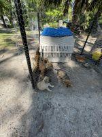 German Shepherd Puppies for sale in Inglis, FL 34449, USA. price: NA