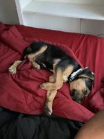 German Shepherd Puppies for sale in Toledo, OH, USA. price: NA