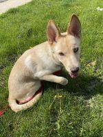 German Shepherd Puppies for sale in Oak Lawn, IL 60453, USA. price: NA