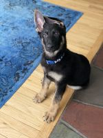 German Shepherd Puppies for sale in Nanuet, NY, USA. price: NA