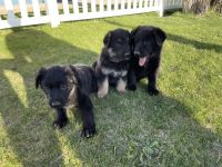 German Shepherd Puppies for sale in Kimball, SD 57355, USA. price: NA