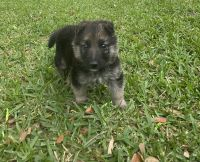German Shepherd Puppies for sale in Houston, TX 77045, USA. price: NA