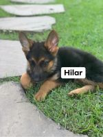 German Shepherd Puppies for sale in Chantilly, VA, USA. price: NA