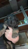 German Shepherd Puppies for sale in Lebanon, PA, USA. price: NA