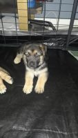 German Shepherd Puppies for sale in Southside, Jacksonville, FL, USA. price: NA