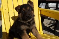 German Shepherd Puppies for sale in Los Angeles, CA, USA. price: NA