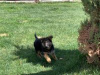 German Shepherd Puppies for sale in Commerce City, CO, USA. price: NA