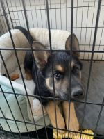 German Shepherd Puppies for sale in Irving, TX 75060, USA. price: NA