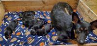 German Shepherd Puppies for sale in Minden City, MI 48456, USA. price: NA