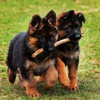 German Shepherd Puppies for sale in Los Angeles, CA 90006, USA. price: NA