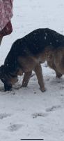 German Shepherd Puppies for sale in Murfreesboro, TN, USA. price: NA