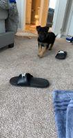 German Shepherd Puppies for sale in Hillsboro, OR 97124, USA. price: NA