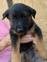 German Shepherd Puppies for sale in San Bernardino, CA 92410, USA. price: NA