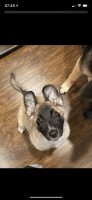 German Shepherd Puppies for sale in Fort Worth, TX, USA. price: NA