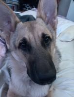 German Shepherd Puppies for sale in Houston, TX, USA. price: NA