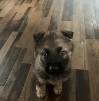 German Shepherd Puppies for sale in Martinsburg, WV, USA. price: NA