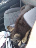 German Shepherd Puppies for sale in San Antonio, TX 78251, USA. price: NA
