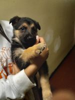 German Shepherd Puppies for sale in Queens, NY, USA. price: NA