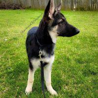 German Shepherd Puppies for sale in Vinita, OK 74301, USA. price: NA