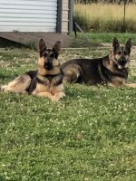 German Shepherd Puppies for sale in Charlotte, NC, USA. price: NA