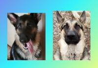 German Shepherd Puppies for sale in Vera, OK, USA. price: NA