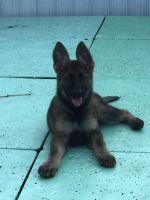 German Shepherd Puppies for sale in Miami Beach, FL, USA. price: NA
