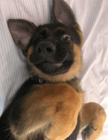 German Shepherd Puppies for sale in California City, CA, USA. price: NA