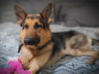 German Shepherd Puppies for sale in Palm Beach Gardens, FL, USA. price: NA