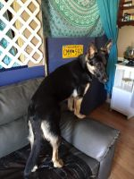 German Shepherd Puppies for sale in 109 Grant Dr, Lawrenceburg, KY 40342, USA. price: NA