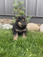 German Shepherd Puppies for sale in Ligonier, IN 46767, USA. price: NA