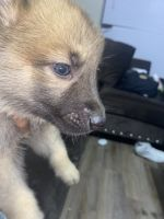 German Shepherd Puppies for sale in Dallas, TX 75253, USA. price: NA