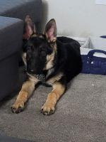 German Shepherd Puppies for sale in Milton, FL 32571, USA. price: NA