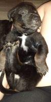 German Shepherd Puppies for sale in Arlington, WA, USA. price: NA