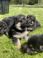 German Shepherd Puppies for sale in Damascus, AR 72039, USA. price: NA