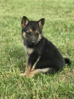 German Shepherd Puppies for sale in Henderson, NC, USA. price: NA
