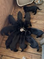 German Shepherd Puppies for sale in Lake Placid, FL 33852, USA. price: NA
